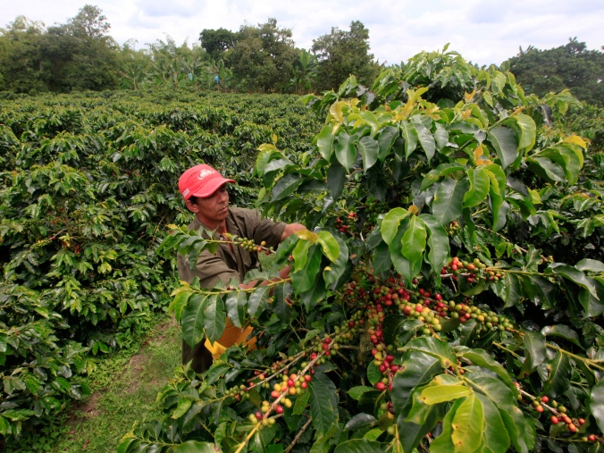 A coffee grower picks coffee fruits in a plantation near Montenegro