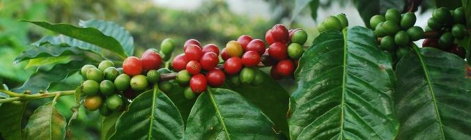 coffee-cherries-branch